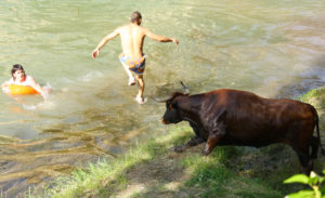 Vacas tajo. 2008 (12)