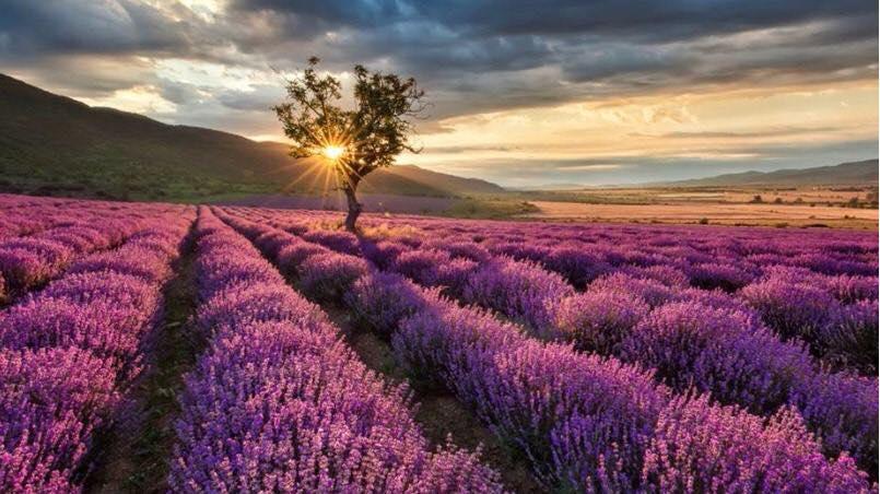 Campos de Lavanda -Vino, Quesos y aceites-