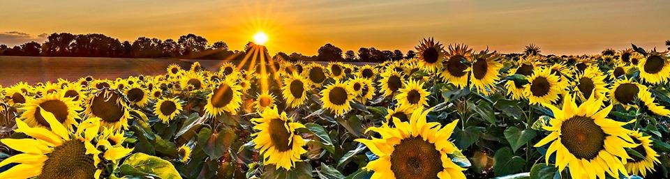 La Ruta Dorada – Las Flores del Sol